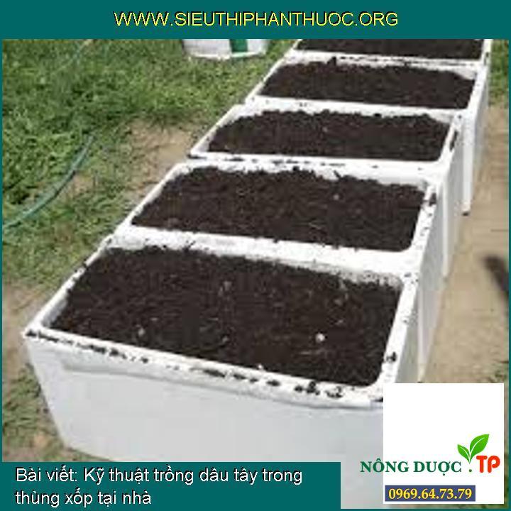 Kỹ thuật trồng dâu tây trong thùng xốp tại nhà