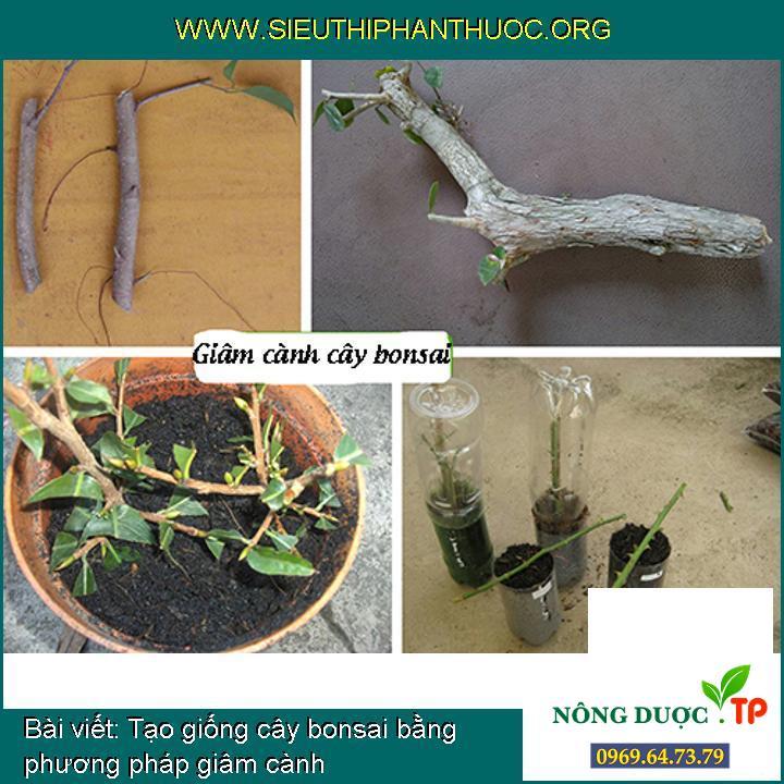 Tạo giống cây bonsai bằng phương pháp giâm cành