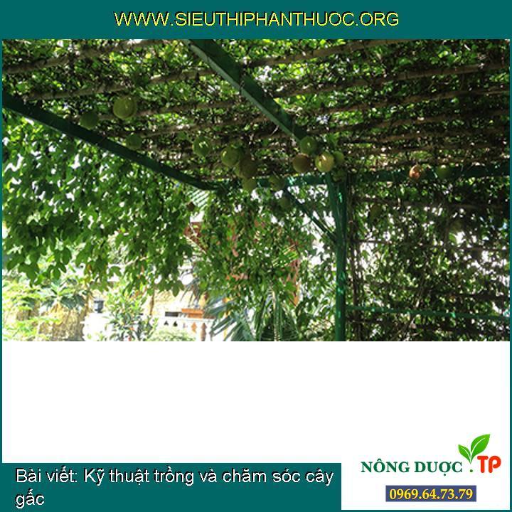 Kỹ thuật trồng và chăm sóc cây gấc