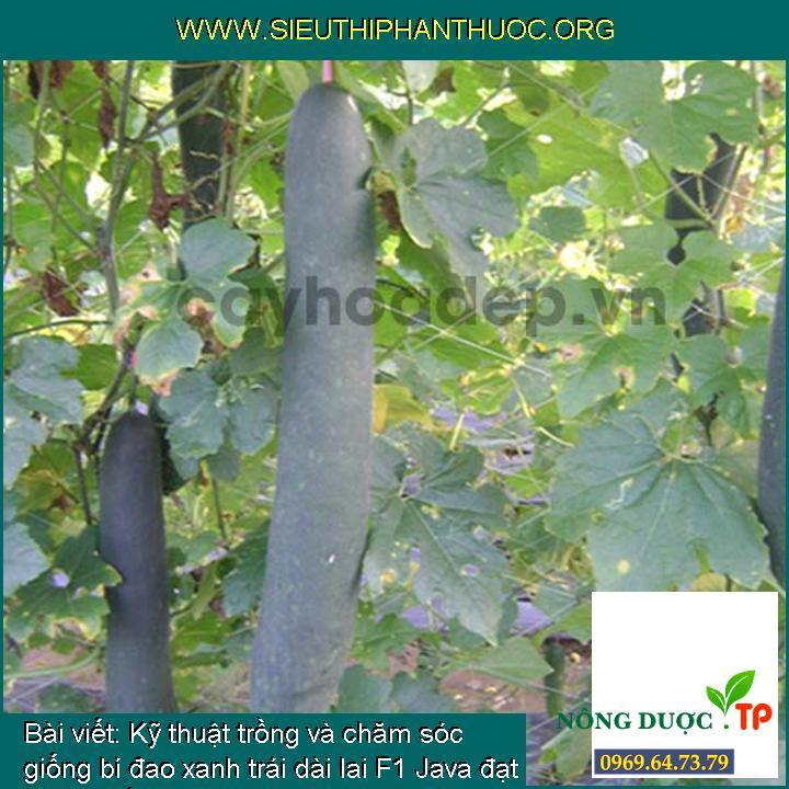 Kỹ thuật trồng và chăm sóc giống bí đao xanh trái dài lai F1 Java đạt năng suất cao
