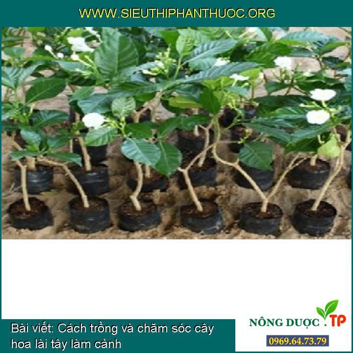 Cách trồng và chăm sóc cây hoa lài tây làm cảnh