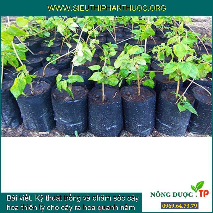 Kỹ thuật trồng và chăm sóc cây hoa thiên lý cho cây ra hoa quanh năm