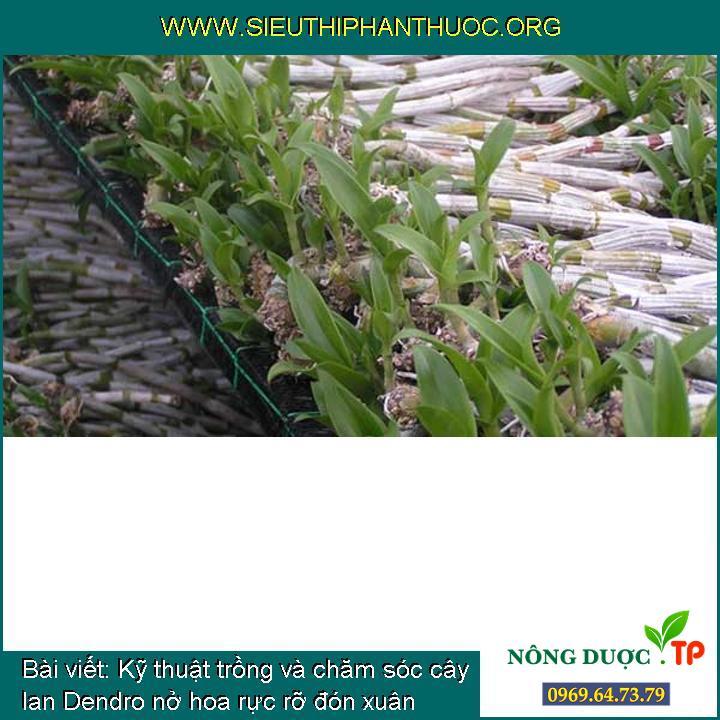 Kỹ thuật trồng và chăm sóc cây lan Dendro nở hoa rực rỡ đón xuân