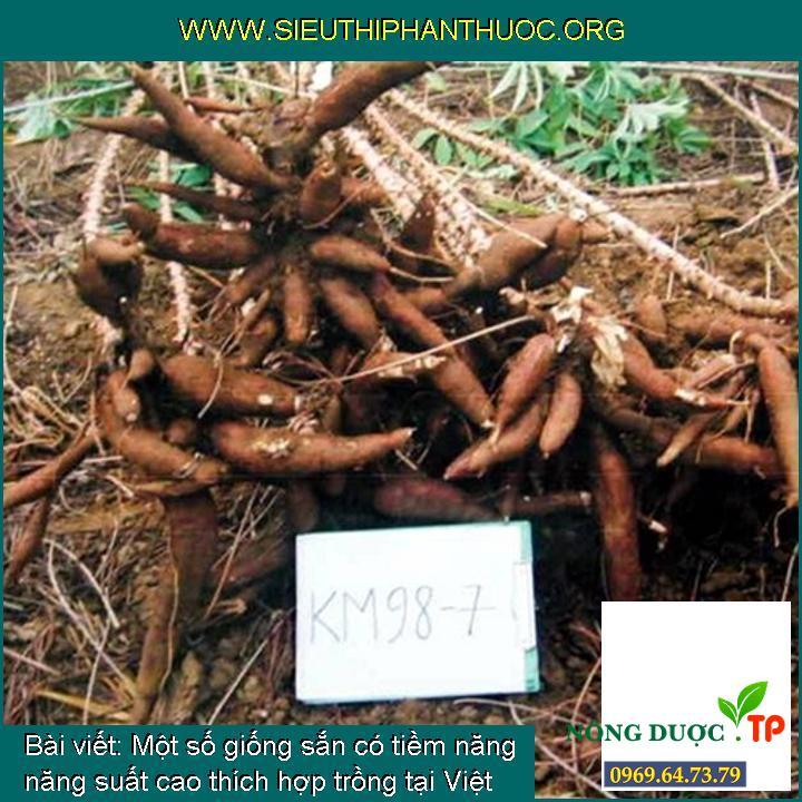 Một số giống sắn có tiềm năng năng suất cao thích hợp trồng tại Việt Nam