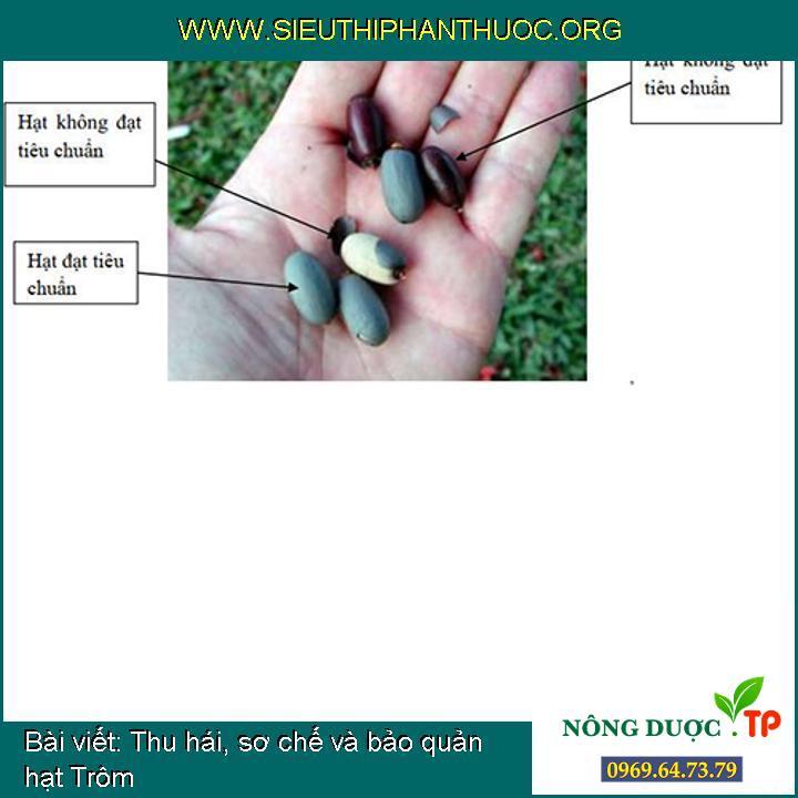 Thu hái, sơ chế và bảo quản hạt Trôm