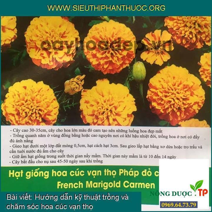 Hướng dẫn kỹ thuật trồng và chăm sóc hoa cúc vạn thọ