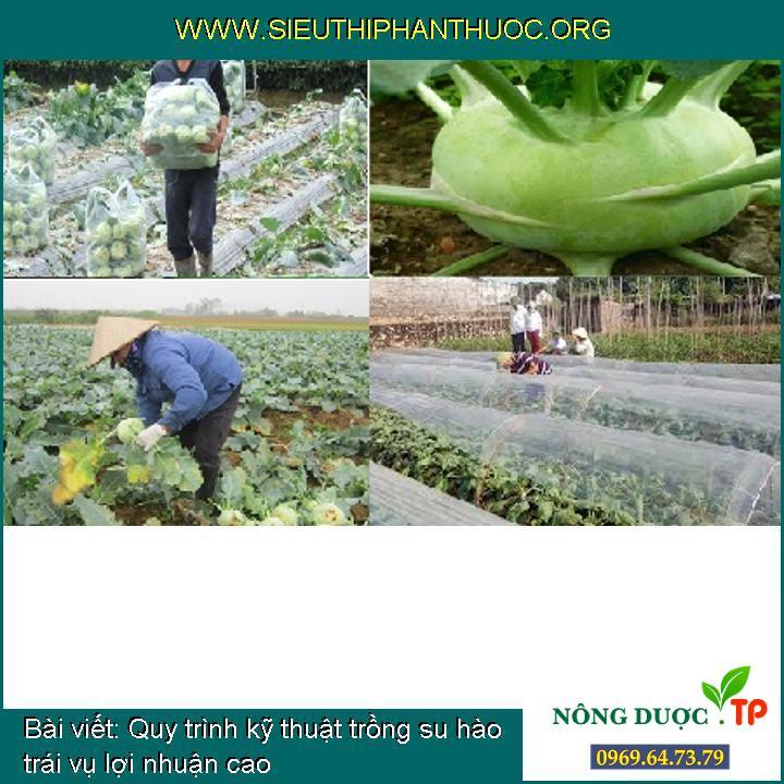 Quy trình kỹ thuật trồng su hào trái vụ lợi nhuận cao