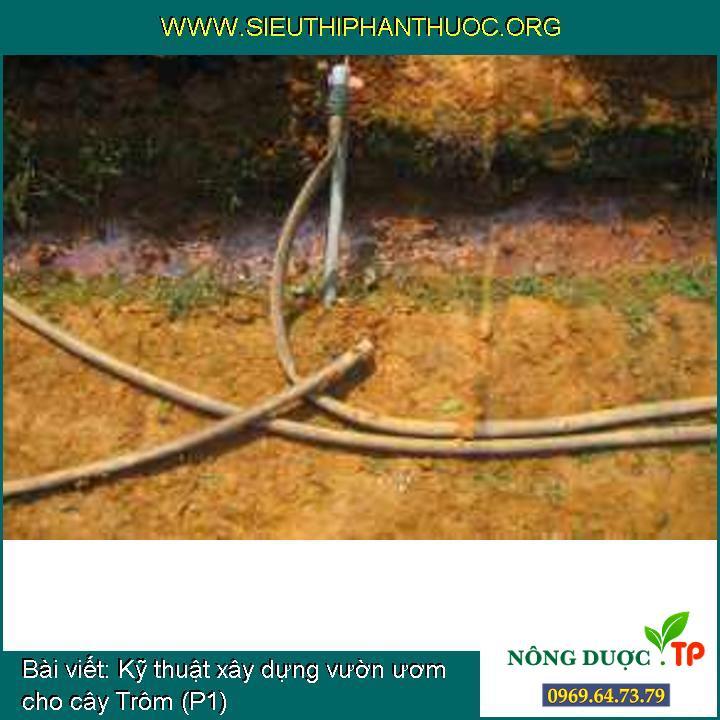 Kỹ thuật xây dựng vườn ươm cho cây Trôm (P1)