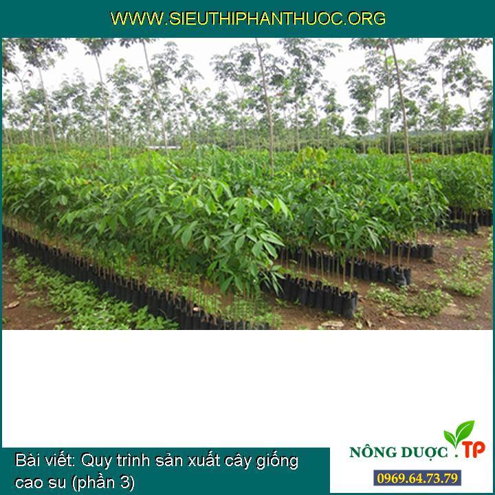 Quy trình sản xuất cây giống cao su (phần 3)