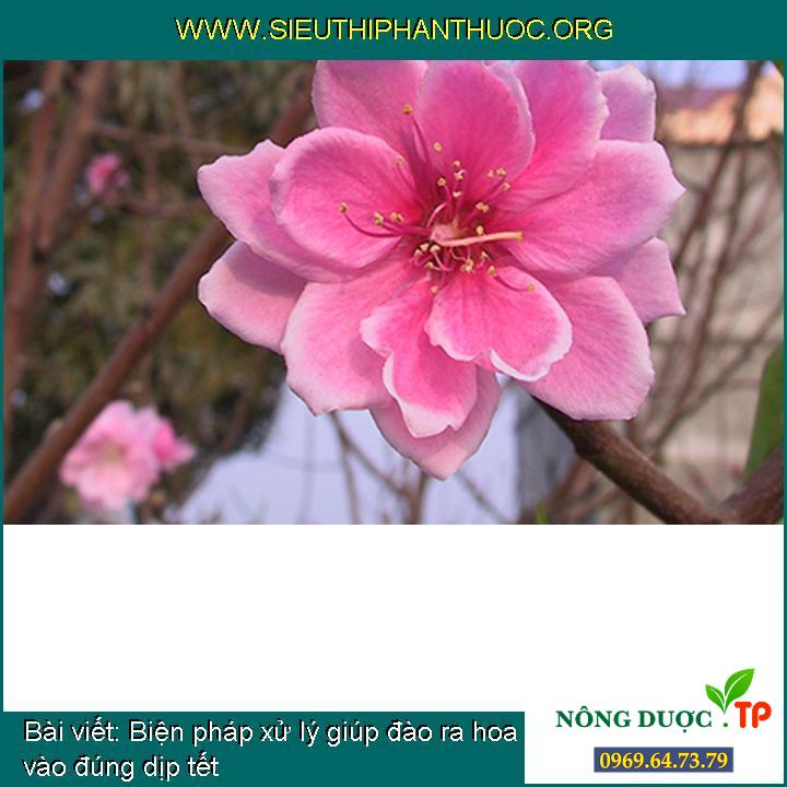 Biện pháp xử lý giúp đào ra hoa vào đúng dịp tết