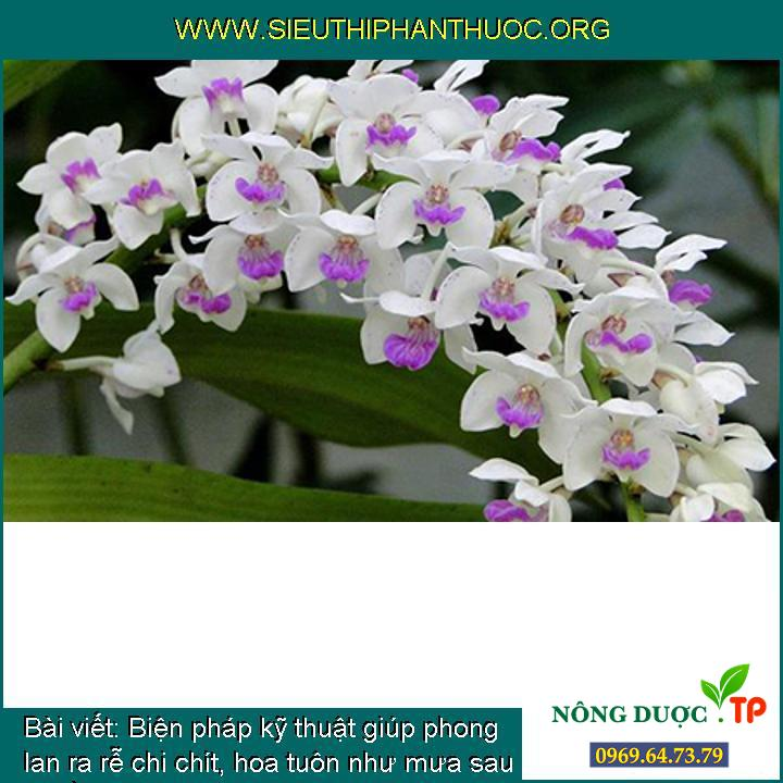 Biện pháp kỹ thuật giúp phong lan ra rễ chi chít, hoa tuôn như mưa sau 1 tuần