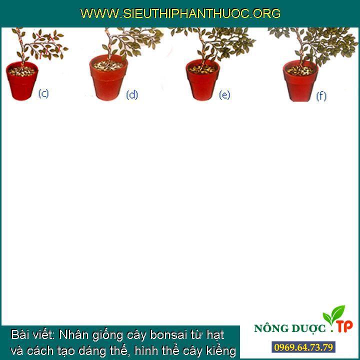Nhân giống cây bonsai từ hạt và cách tạo dáng thế, hình thể cây kiểng