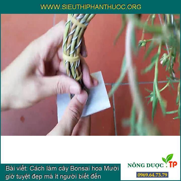 Cách làm cây Bonsai hoa Mười giờ tuyệt đẹp mà ít người biết đến