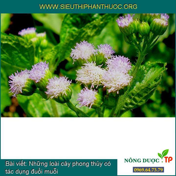 Những loài cây phong thủy có tác dụng đuổi muỗi
