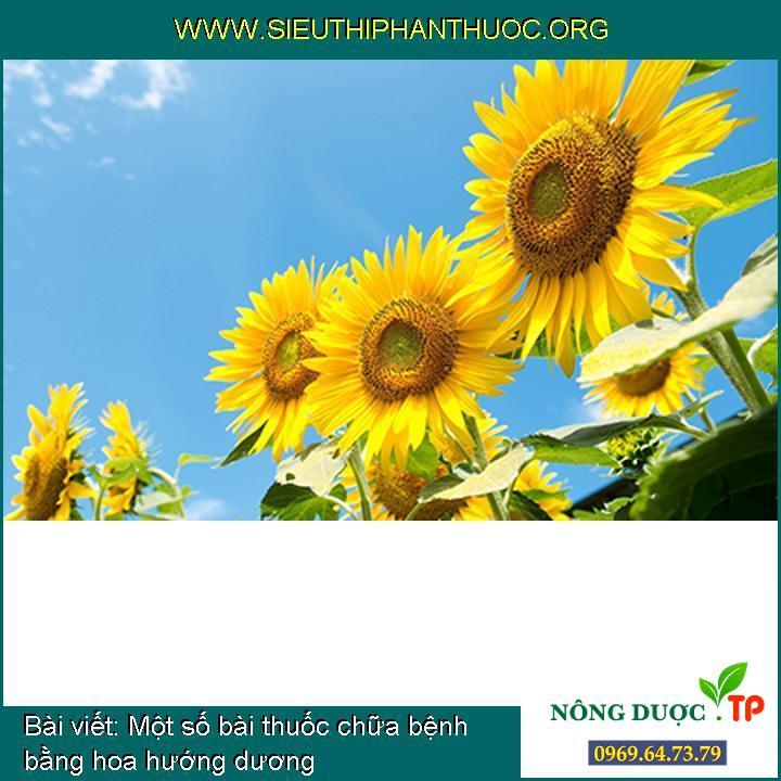Một số bài thuốc chữa bệnh bằng hoa hướng dương