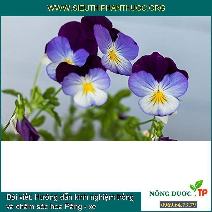 Hướng dẫn kinh nghiệm trồng và chăm sóc hoa Păng - xe