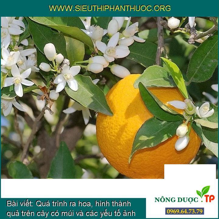 Quá trình ra hoa, hình thành quả trên cây có múi và các yếu tố ảnh hưởng