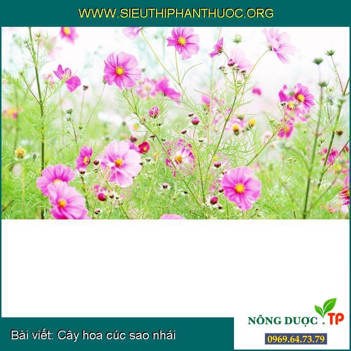 Cây hoa cúc sao nhái
