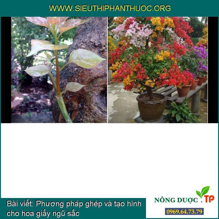 Phương pháp ghép và tạo hình cho hoa giấy ngũ sắc
