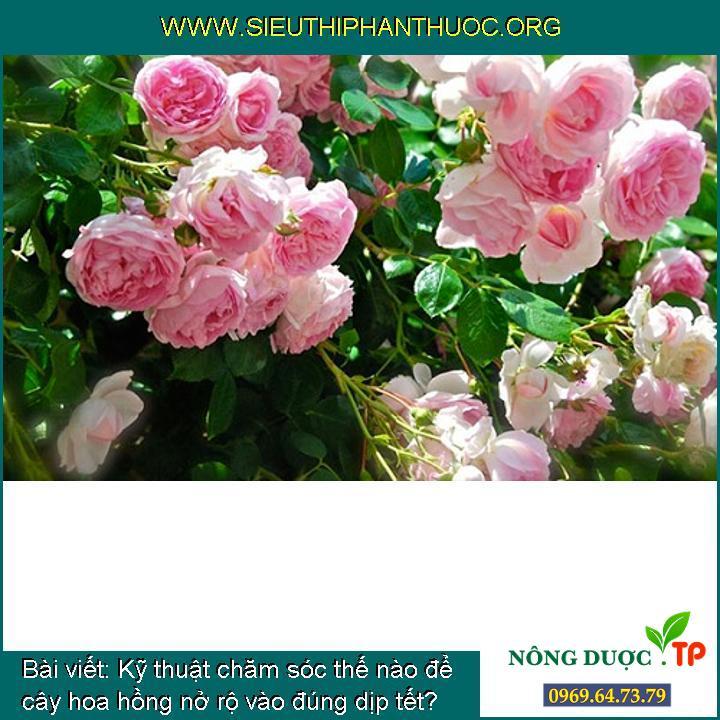 Kỹ thuật chăm sóc thế nào để cây hoa hồng nở rộ vào đúng dịp tết?