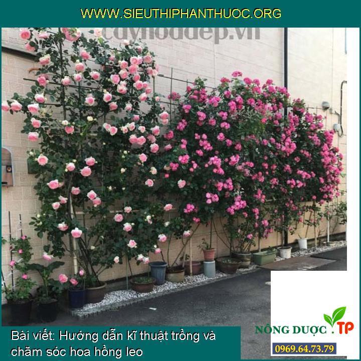 Hướng dẫn kĩ thuật trồng và chăm sóc hoa hồng leo