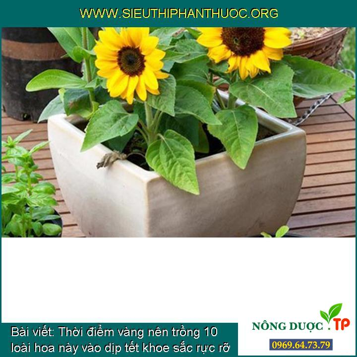 Thời điểm vàng nên trồng 10 loài hoa này vào dịp tết khoe sắc rực rỡ