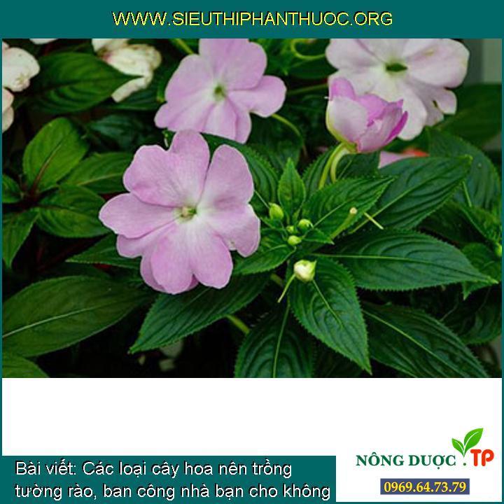 Các loại cây hoa nên trồng tường rào, ban công nhà bạn cho không gian đẹp hơn