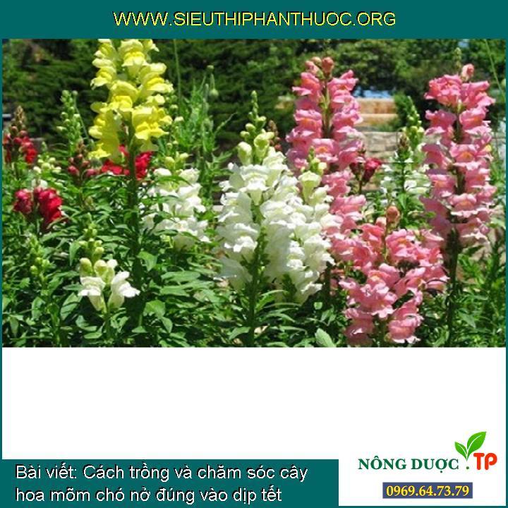 Cách trồng và chăm sóc cây hoa mõm chó nở đúng vào dịp tết