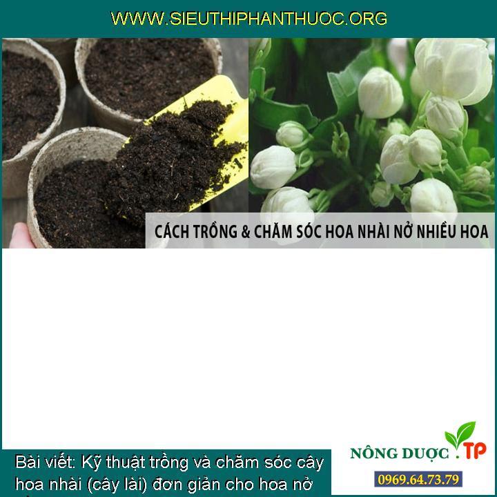 Kỹ thuật trồng và chăm sóc cây hoa nhài (cây lài) đơn giản cho hoa nở đều, đẹp