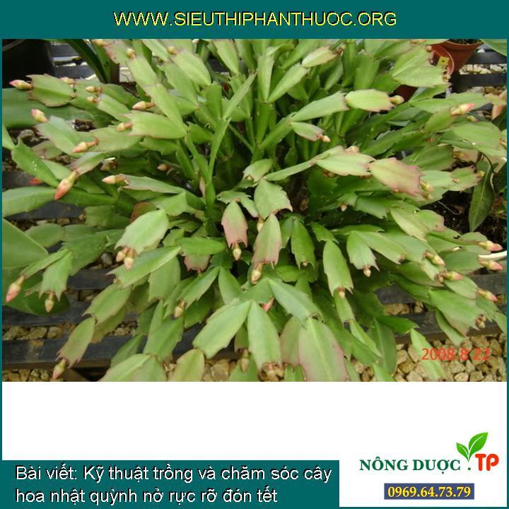 Kỹ thuật trồng và chăm sóc cây hoa nhật quỳnh nở rực rỡ đón tết