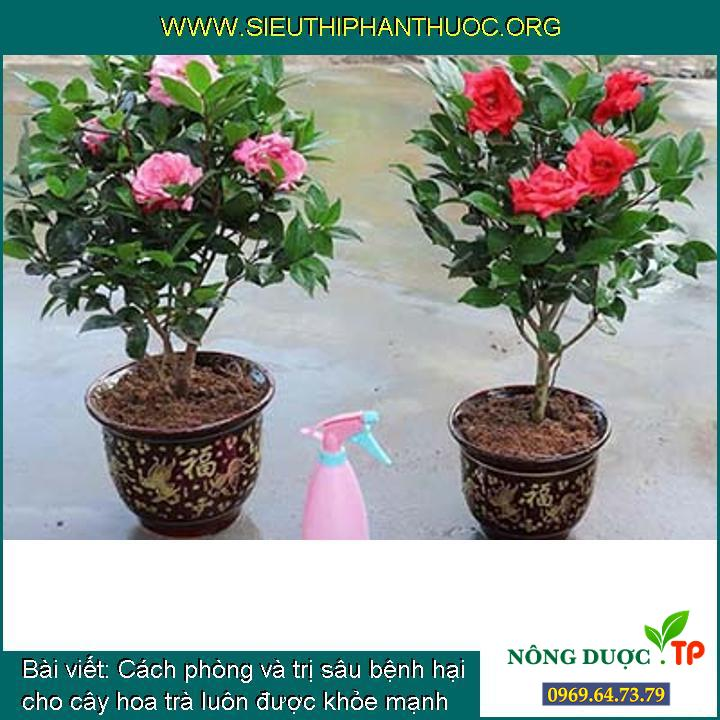 Cách phòng và trị sâu bệnh hại cho cây hoa trà luôn được khỏe mạnh