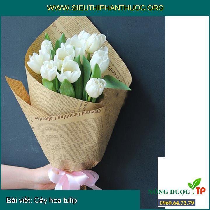 Cây hoa tulip