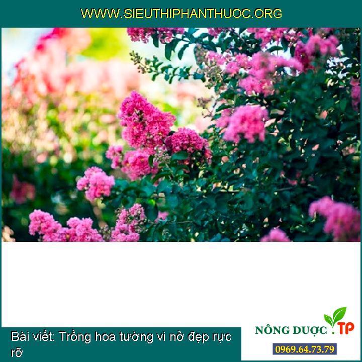 Trồng hoa tường vi nở đẹp rực rỡ
