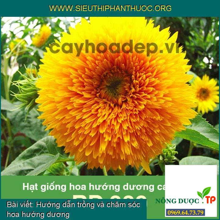 Hướng dẫn trồng và chăm sóc hoa hướng dương