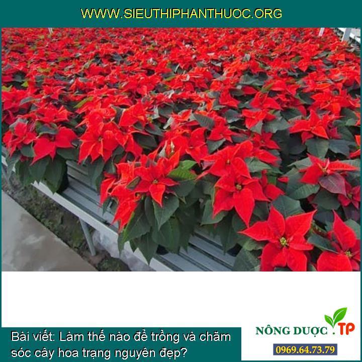 Làm thế nào để trồng và chăm sóc cây hoa trạng nguyên đẹp?