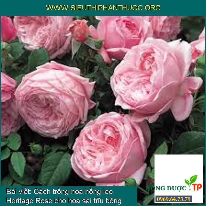 Cách trồng hoa hồng leo Heritage Rose cho hoa sai trĩu bông