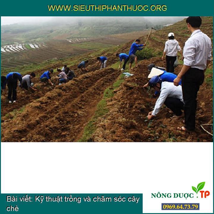 Kỹ thuật trồng và chăm sóc cây chè