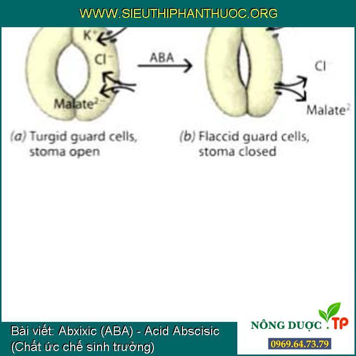Abxixic (ABA) - Acid Abscisic (Chất ức chế sinh trưởng)