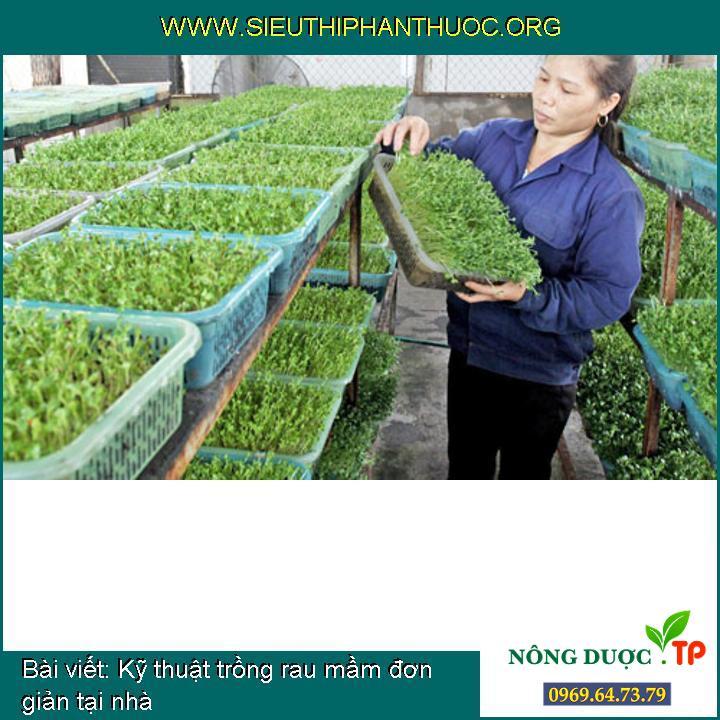 Kỹ thuật trồng rau mầm đơn giản tại nhà
