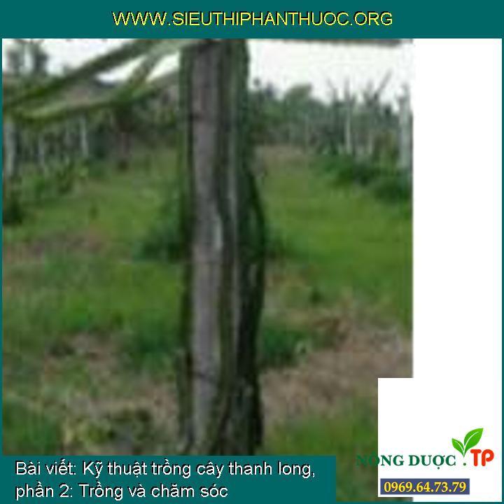 Kỹ thuật trồng cây thanh long, phần 2: Trồng và chăm sóc
