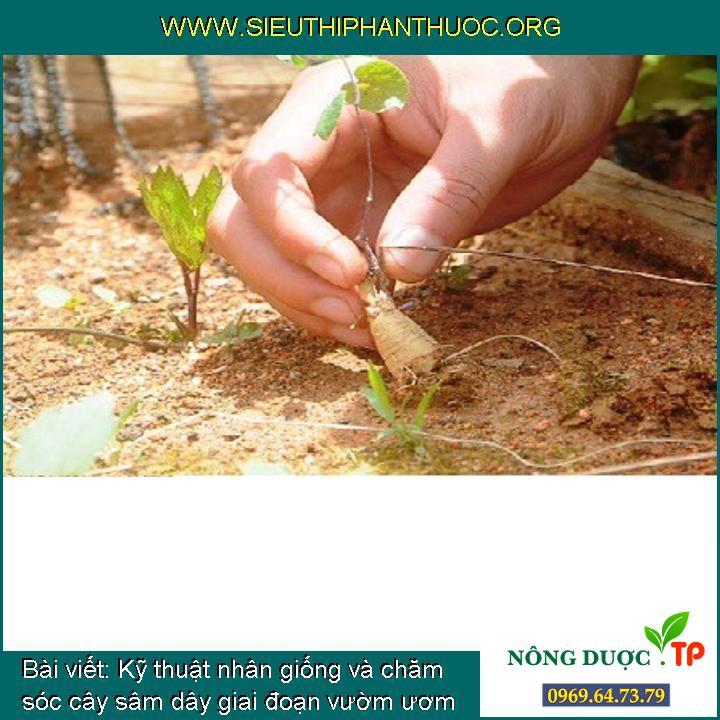 Kỹ thuật nhân giống và chăm sóc cây sâm dây giai đoạn vườm ươm