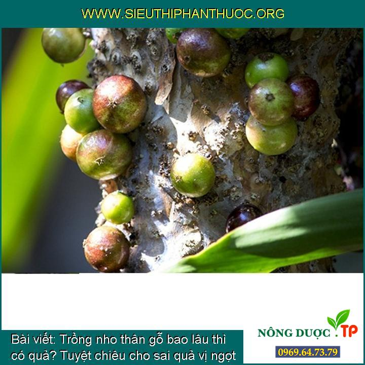 Trồng nho thân gỗ bao lâu thì có quả? Tuyệt chiêu cho sai quả vị ngọt lịm