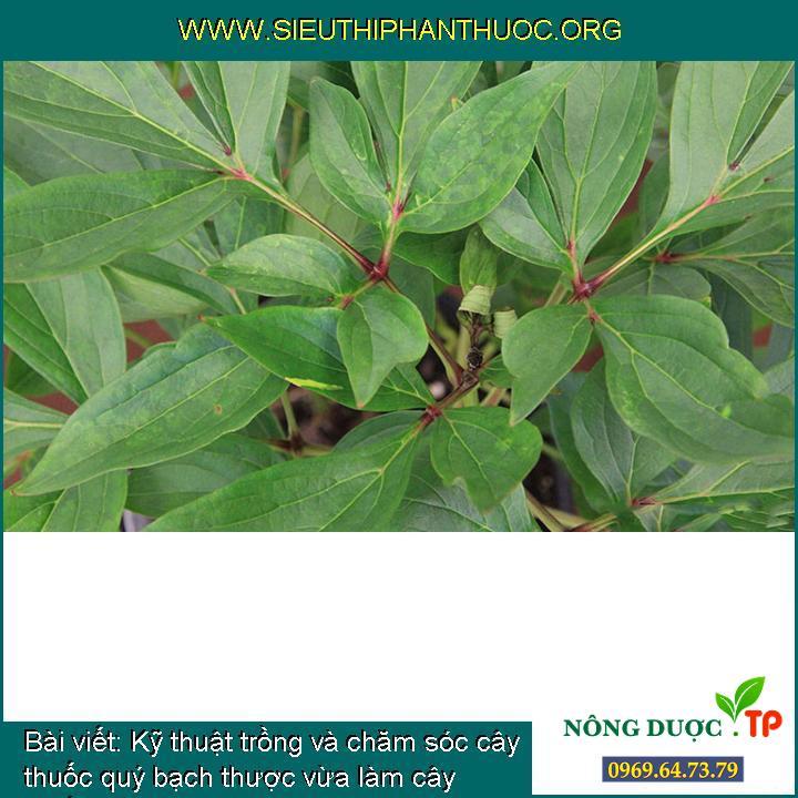 Kỹ thuật trồng và chăm sóc cây thuốc quý bạch thược vừa làm cây thuốc, vừa làm cây cảnh đẹp