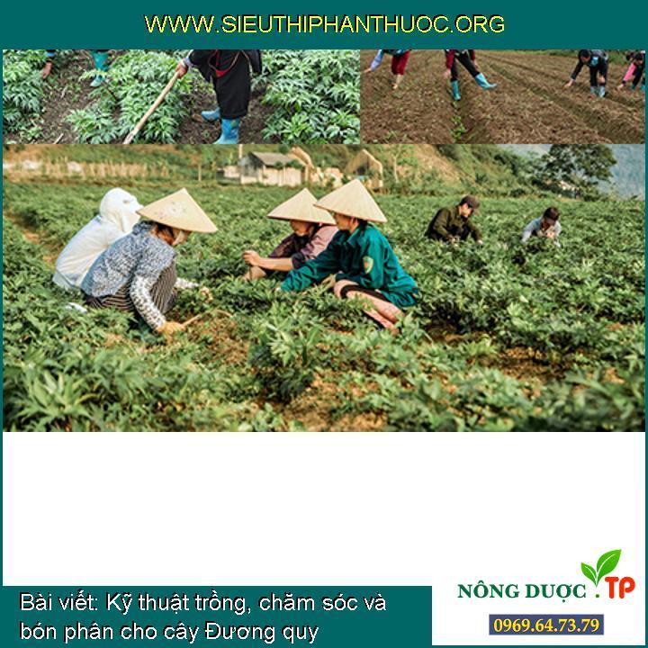 Kỹ thuật trồng, chăm sóc và bón phân cho cây Đương quy