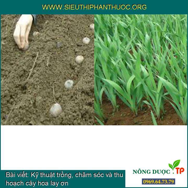Kỹ thuật trồng, chăm sóc và thu hoạch cây hoa lay ơn