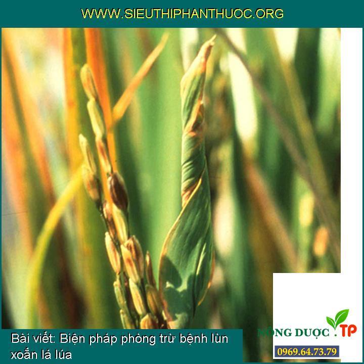 Biện pháp phòng trừ bệnh lùn xoắn lá lúa