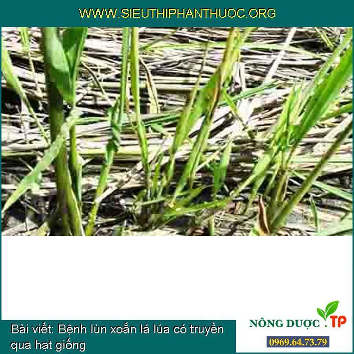 Bệnh lùn xoắn lá lúa có truyền qua hạt giống