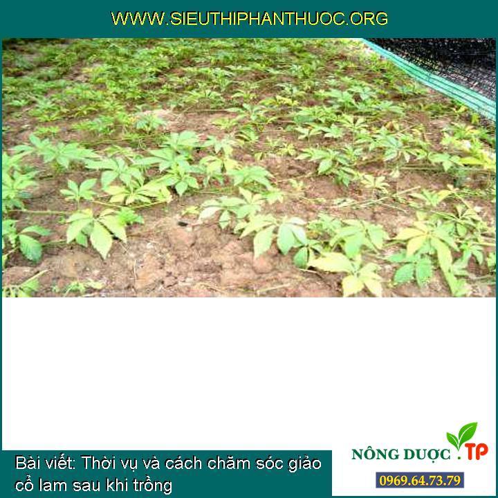 Thời vụ và cách chăm sóc giảo cổ lam sau khi trồng