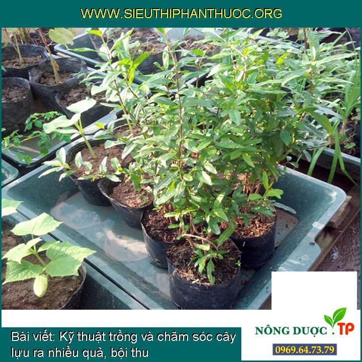 Kỹ thuật trồng và chăm sóc cây lựu ra nhiều quả, bội thu