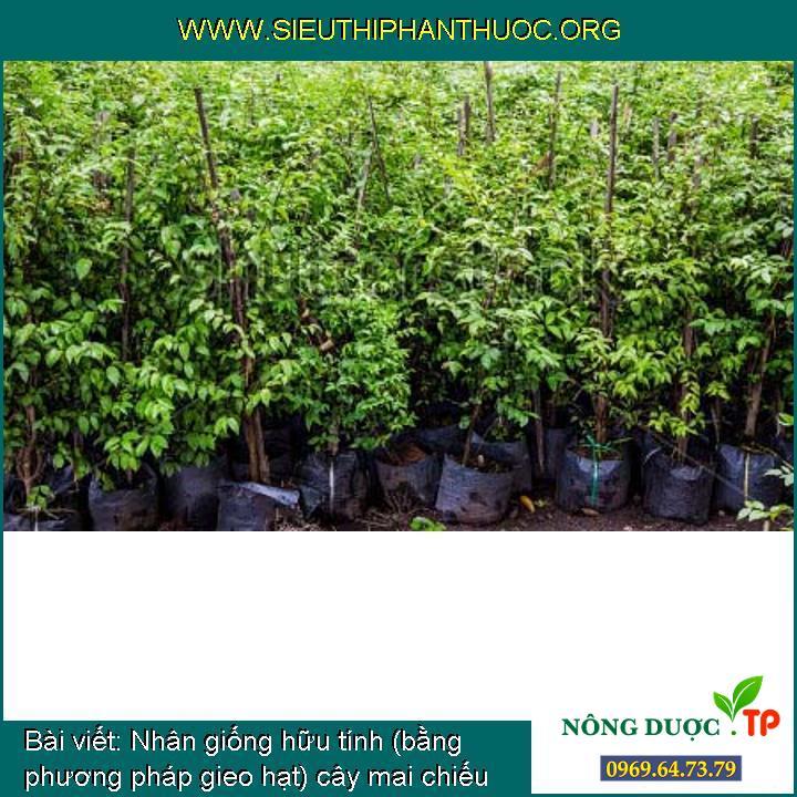 Nhân giống hữu tính (bằng phương pháp gieo hạt) cây mai chiếu thủy